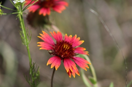Firewheel (Gaillardia pulchella) at Fort Worth Nature Center