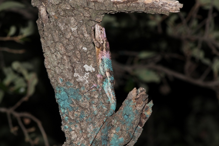 Twice recaptured Sceloporus