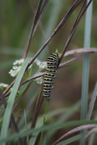 Monarch caterpillar at Fort Worth Nature Center